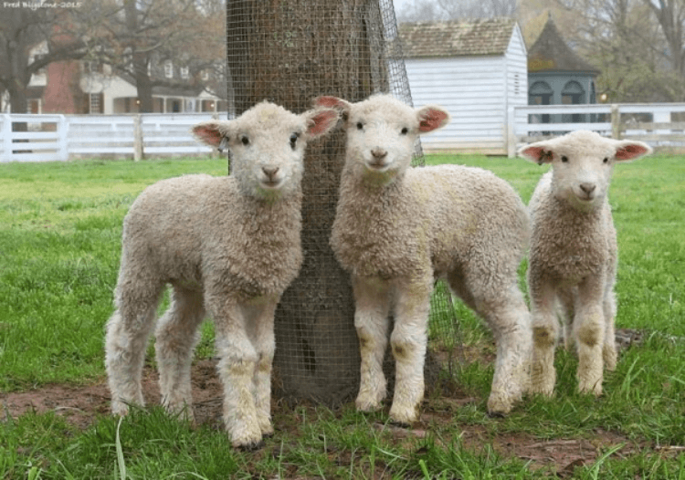 Lambs at Colonial Williamsburg